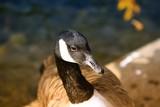 Goose portrait - 172222651