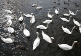 Many white swans swim in the water - 172233611