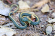 Santa Cruz Gartersnake - Thamnophis atratus atratus. Juvenile garter snake in defensive posture. Santa Cruz Mountains, California, USA.