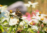 Painted Lady Butterfly as it Migrates to Mexico - 172289656