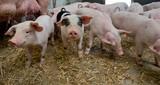 Biological pig farming. Free range pigs. - 172322281