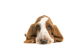 Cute sad looking english basset hound puppy portrait lying on the floor seen from the front with its ears folder underneath him on a white background - 172324664