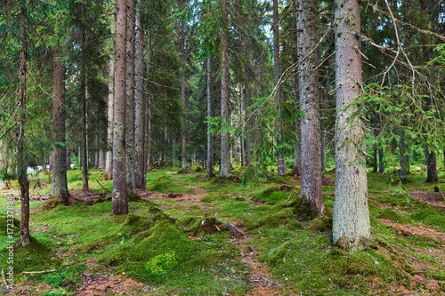 Aluminium Betoverde Bos Mossy pine forest