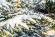 Christmas spruce trees in snow, branches covered with white snowy fluff, winter scene