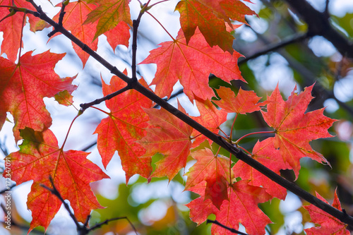Tuinposter Rood Red maple leaves on a branch