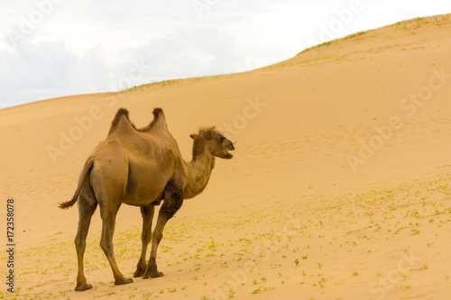 Fotobehang Kameel Khongor Els Bactrian Camel Walking Up Sand Dunes