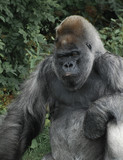 Western Lowland Gorilla posing for the camera - 172369213