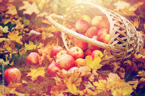 Poster wicker basket of ripe red apples at autumn garden