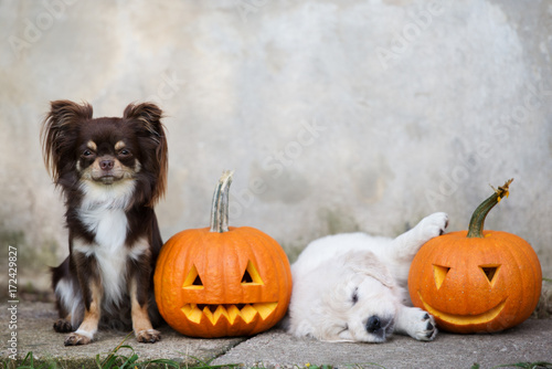 adorable chihuahua and puppy posing with pumpkins Poster
