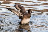 Schöne Ente im Wasser - 172466265