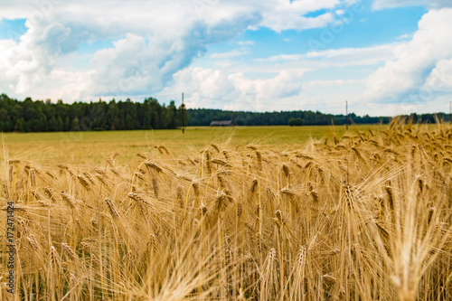 Fotobehang Zomer Gold wheat field and and countryside scenery, Estonia