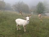 Sika deer European - 172478251