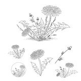 Vintage Draw of Dandelion and Other Herbs Set