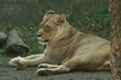 Lions, Magestic, King of the Jungle