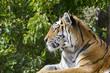 Single Tiger Portrait