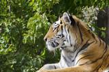 Single Tiger Portrait - 172491085