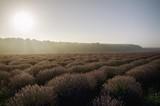 Morning Lavender Field