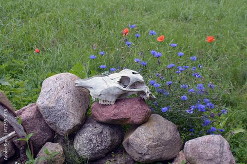 Foto op Plexiglas Klaprozen Horse skull on stone fence in farm, wild poppies and cornflowers