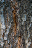 Texture of birch bark close-up. Birch tree wood texture
