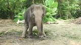 Little Elephant stock footage video