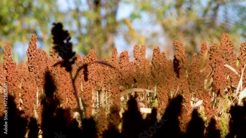 A row of sorghum plants bathe in the evening sunlight with plants silhouetted in the foreground