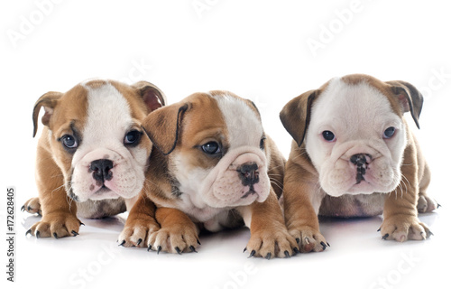 Fototapeta puppies english bulldog