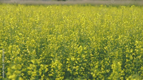 Wall mural Close Up of canola field on a bright sunny day. Lots of green and yellow. Shallow depth of field.
