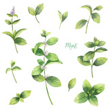 Watercolor vector set of mint branches isolated on white background. - 172636659