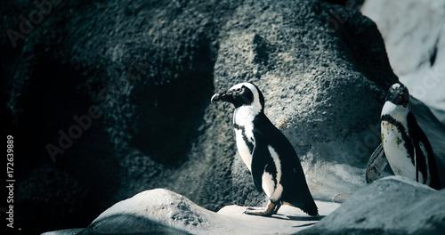 Fotobehang Pinguin Portrait of two penguins standing on rocky shore