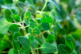 Fresh  oregano herb - 172667638