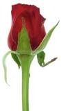 bouton de rose rouge, fond blanc