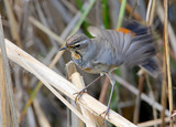 Bluethroat  waging on the reed. Close up portrait - 172688835