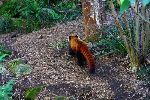 A Red Panda (Ailurus fulgens) Poster