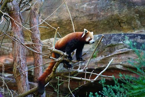 Fotobehang Panda A Red Panda (Ailurus fulgens)