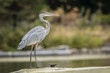 Great blue heron on dock.