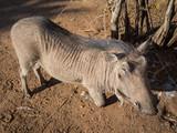 Closeup portrait of friendly warthog kneeling on sandy ground near Chobe National Park, Botswana, Africa - 172722487