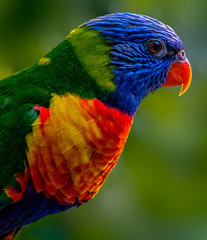 Lorikeet in the forest