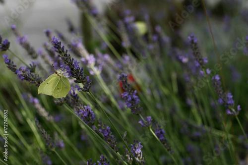 Fotobehang Lavendel Lavendel mit Schmetterling