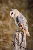 Barn owl (tyto alba) perched on wooden post. Side view. - 172752224