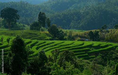 Deurstickers Rijstvelden Green terraced rice field in Pa Pong Pieng. Chiang Mai ,Thailand.