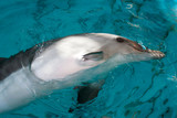 Dolphin in captivity Horizontally. Dolphin stuck his head out of the turquoise water and showed a white belly - 172756651