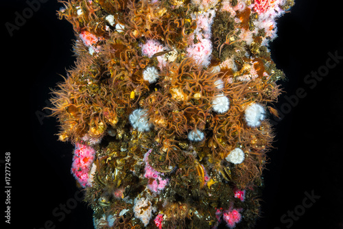 Brittle Starfish and Corynactis on underwater structure