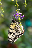 Black and white butterfly - 172781459