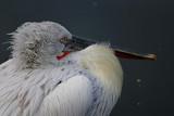 Curly pelican (Latin Pelecanus crispus) - 172783488