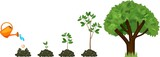 Stages of growth of a tree from a seed. Life cycle of a tree: from seed to large tree. Watering the plants - 172784222