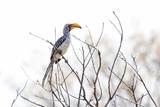 yellow beak hornbill - 172795809