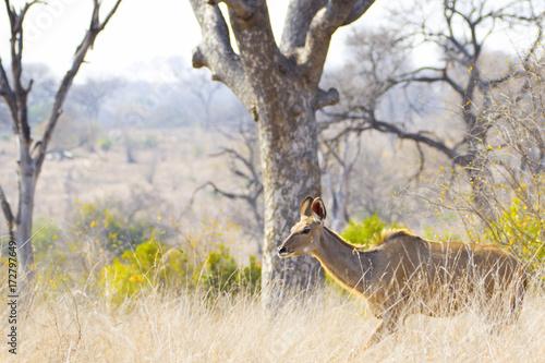 Fridge magnet Kudu