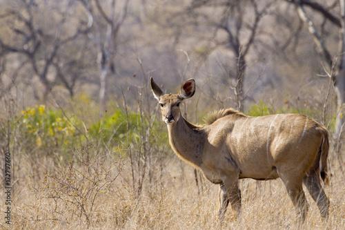 Fotobehang Hert Kudu