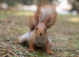 Cute squirrel seat on grass at park, forrest at sunny day - 172812818