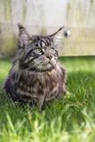 Мейн Кун сидит на траве и смотрит в сторону.Вертикально.